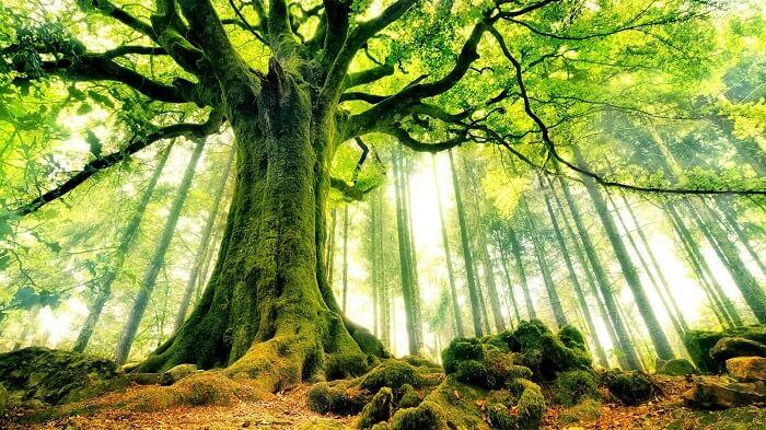 Không tự ý chặt cây có tuổi đời lâu năm